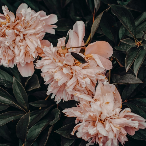 Canva - Pink Flowers